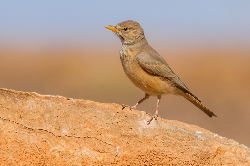 THIS BIRDING TRIP TO MOROCCO IS A FESTIVAL OF LARKS! AMONG THEM WE CAN FIND THE DESERT LARK. PHOTOGRAPH BY YERAY SEMINARIO, BIRDING THE STRAIT.