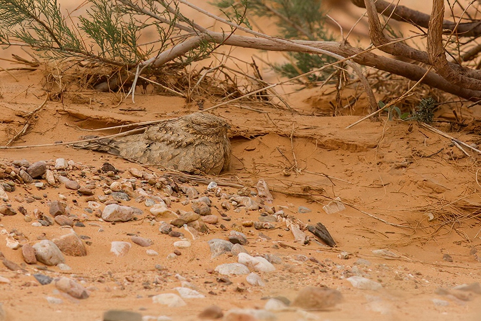 STARTING IN FEBRUARY WE CAN FIND THE EGYPTIAN NIGHTJAR IN THE DESERT ENVIRONMENTS OF SOUTH MOROCCO. PHOTOGRAPH BY JAVI ELORRIAGA, BIRDING THE STRAIT.