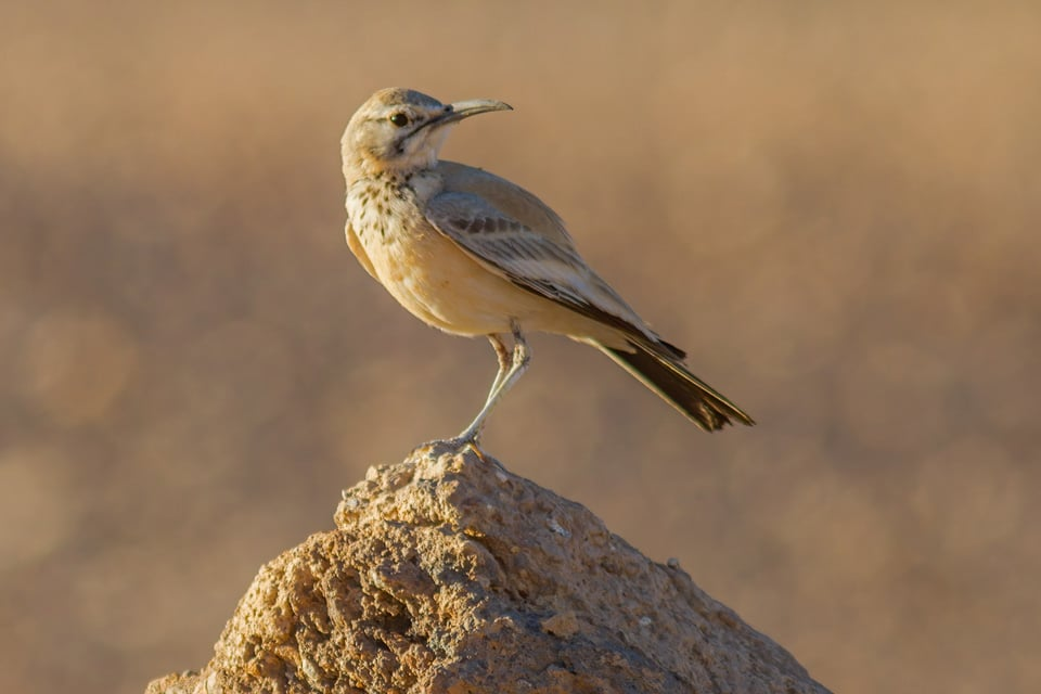 THE GREATER HOOPE-LARK IS ONE OF THE MOST CHARISMATIC BIRD SPECIES IN THE DESERTS OF MOROCCO AND NORTH AFRICA. PHOTOGRAPH BY YERAY SEMINARIO, BIRDING THE STRAIT.