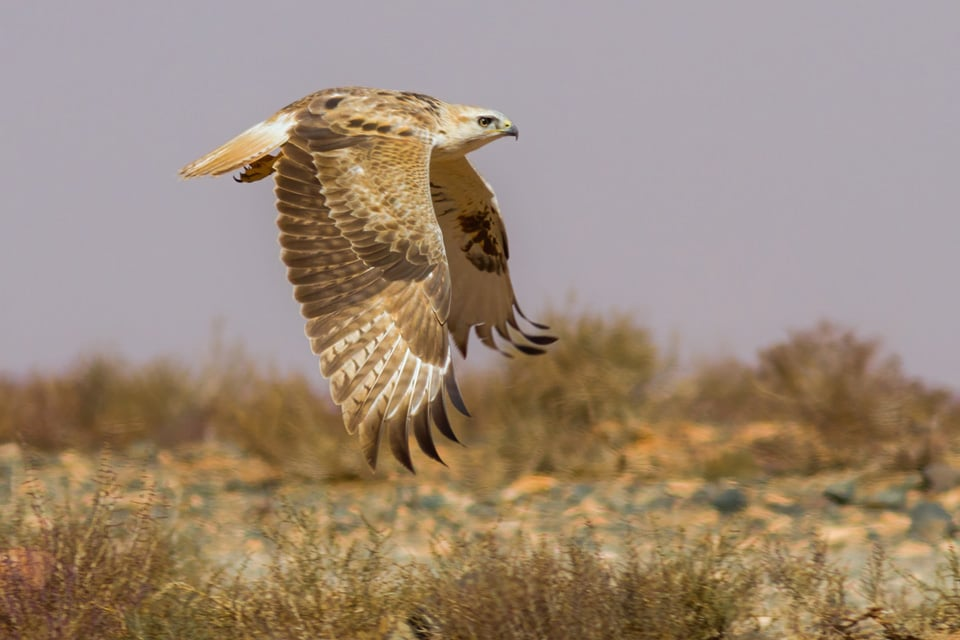 THE LONG-LEGGED BUZZARD IS THE MOST ABUNDANT RAPTOR IN MOROCCO, EVEN THOUGH IT IS NEVER SEEN IN LARGE NUMBERS. THIS IS A JUVENILE AT THE TAGDILT TRACK. PHOTOGRAPH BY YERAY SEMINARIO, BIRDING THE STRAIT.