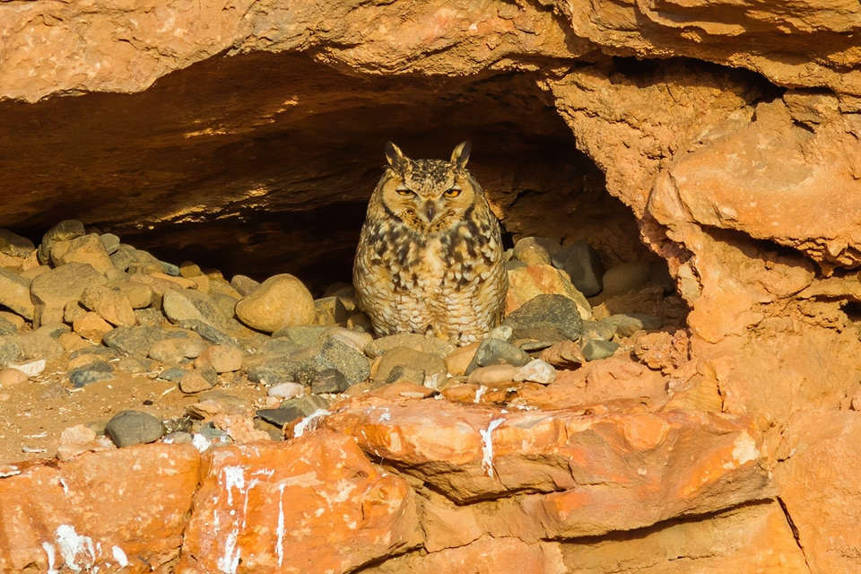 DURING THIS BIRDING TRIP TO MOROCCO WE WILL LOOK FOR THE PHARAOH EAGLE-OWL, ONE OF THE MOST WANTED BIRDS IN THE COUNTRY. PHOTOGRAPH BY YERAY SEMINARIO, BIRDING THE STRAIT.