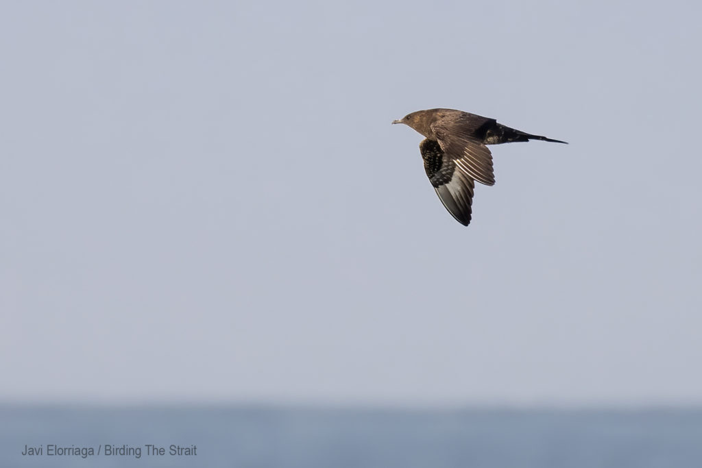 During this birding boat trip in Cadiz we saw three different Artic Skuas. We found all of them within the first miles of sailing, near the coast of Chipiona. Gulf of Cadiz, September 2020.