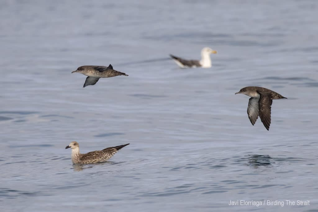 Balearic Shearwaters in the Gulf of Cadiz. Birding The Strait, September 2020.