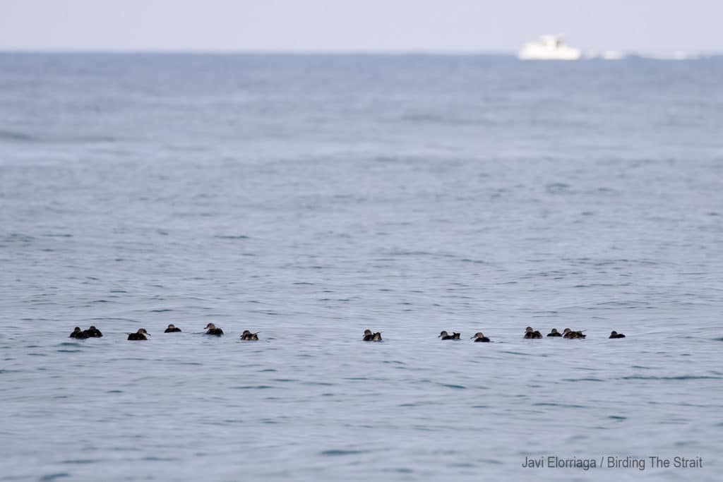 Balearic Shearwaters in the Gulf of Cadiz. Birding the Strait.