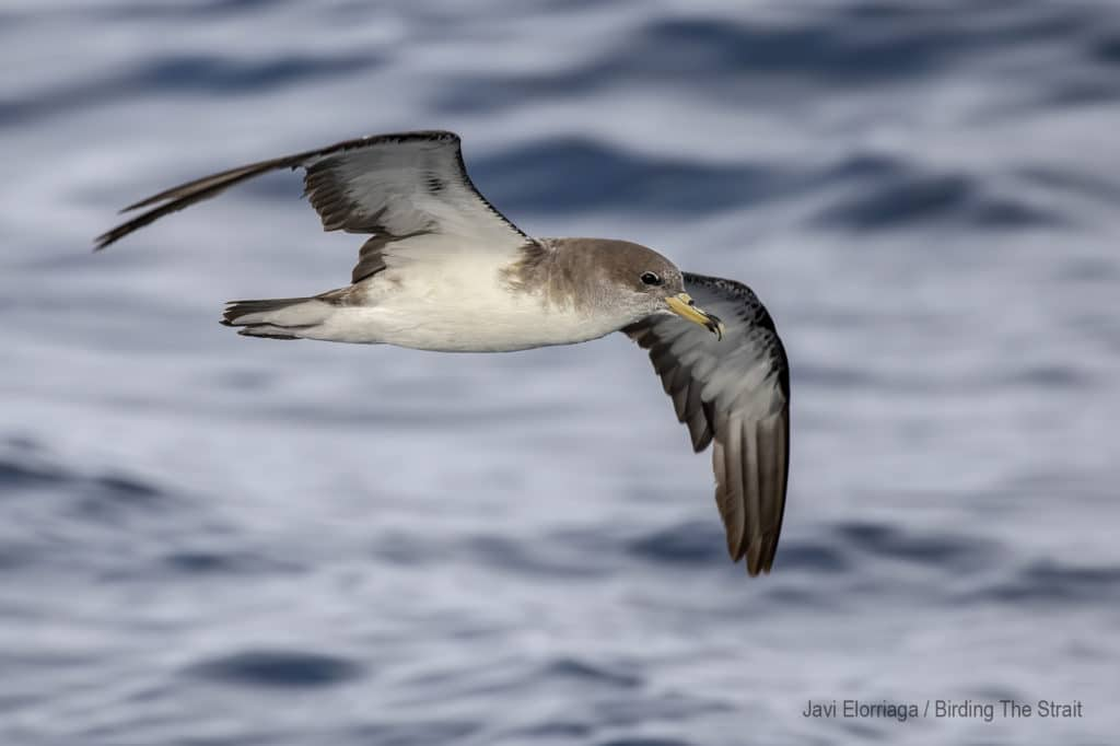 Cory's Shearwaters in the Gulf of Cadiz. September 2020.