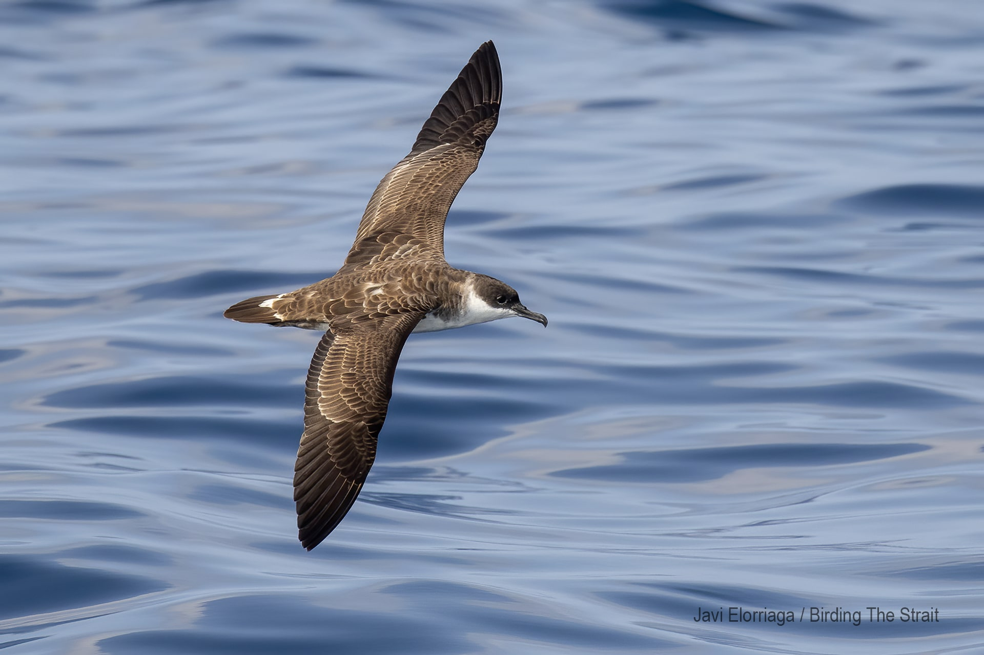 Great Shearwater in the Gulf of Cadiz, September 2020.