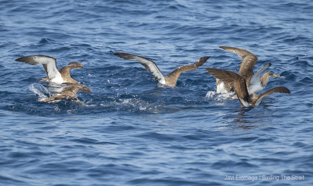 Cory's Shearwaters in the Gulf of Cadiz. September 2020. Birding The Strait.
