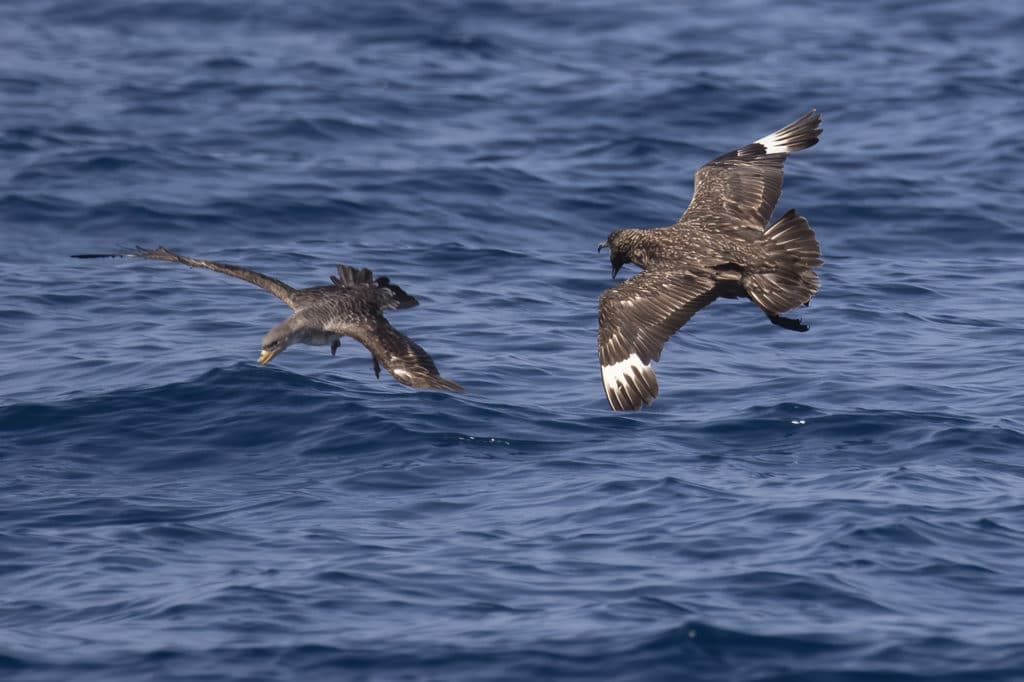 Great Skua and Cory's Shearwater in the Gulf of Cadiz, September 2020.