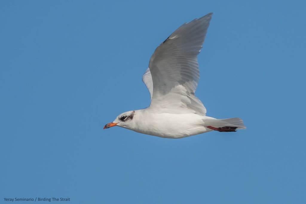 Adult Mediterranean Gull in winter plumage. We found this bird foraging around a fishing Trawler. Gulf of Cadiz, September 2020.
