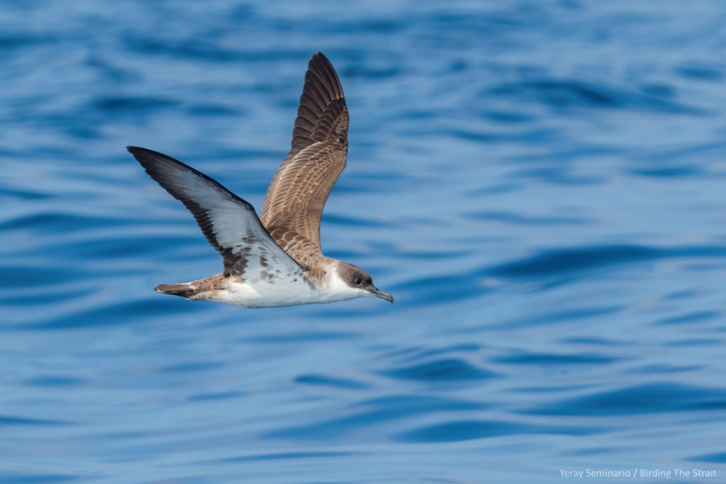 Great Shearwater in the Gulf of Cadiz, September 2020. Birding The Strait.