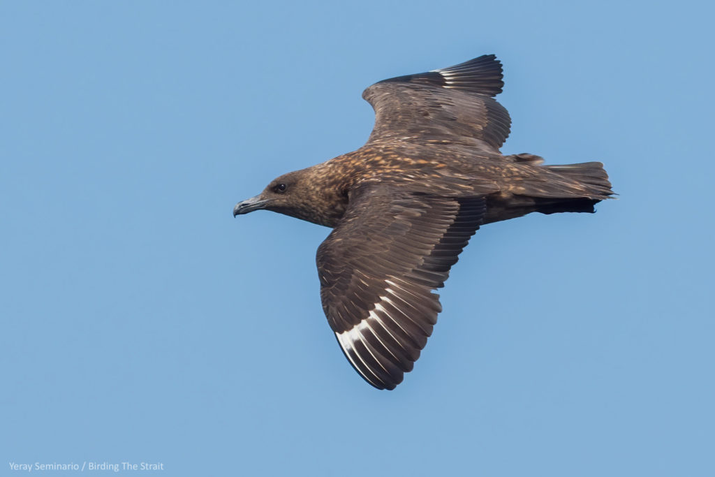 Great Skua in the Gulf of Cadiz, September 2020.