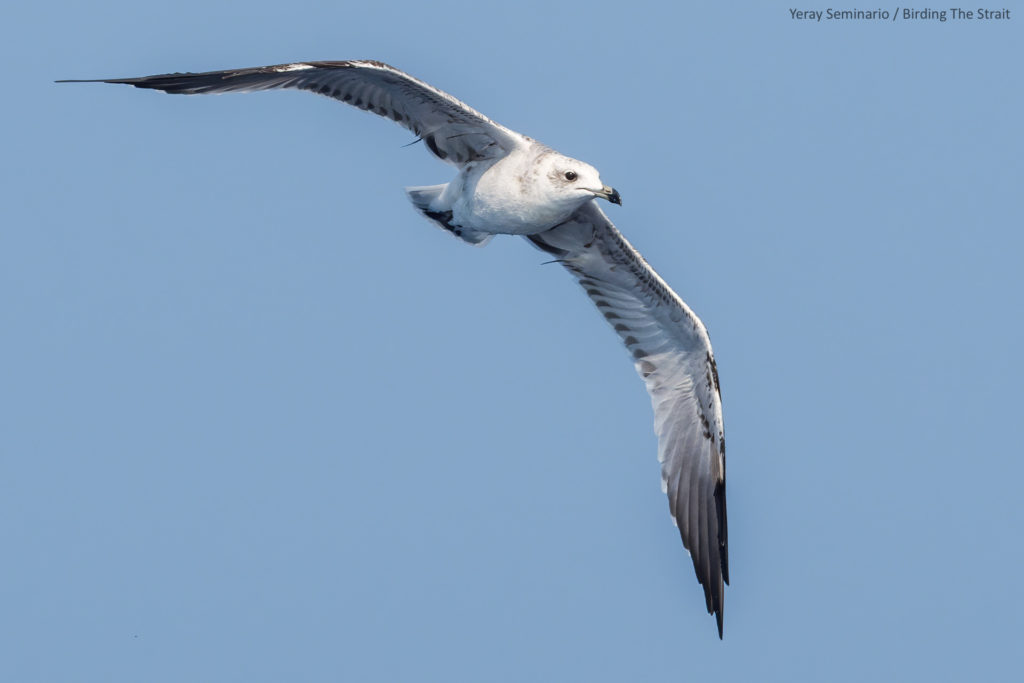 Immatures Audouin's gull around a fishing trawler in the Gulf of Cadiz. September 2020.