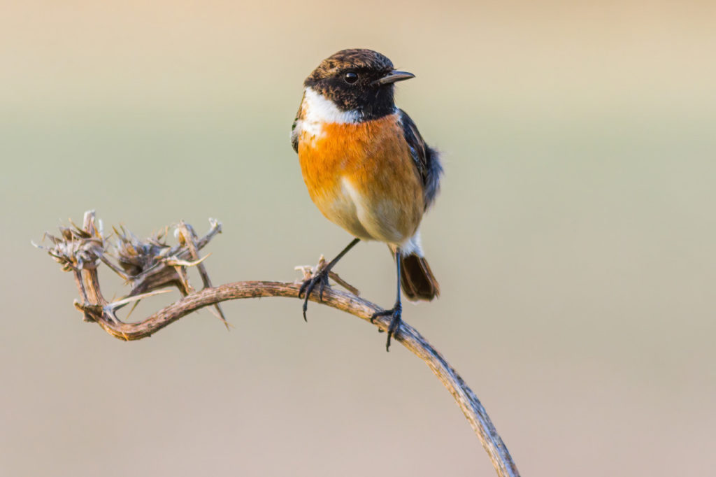 The European Stonechat is very common in our local patch of La Janda, and will surely be an addition to our list during the October Big Day 2020. Photography by Yeray Seminario, Birding The Strait.