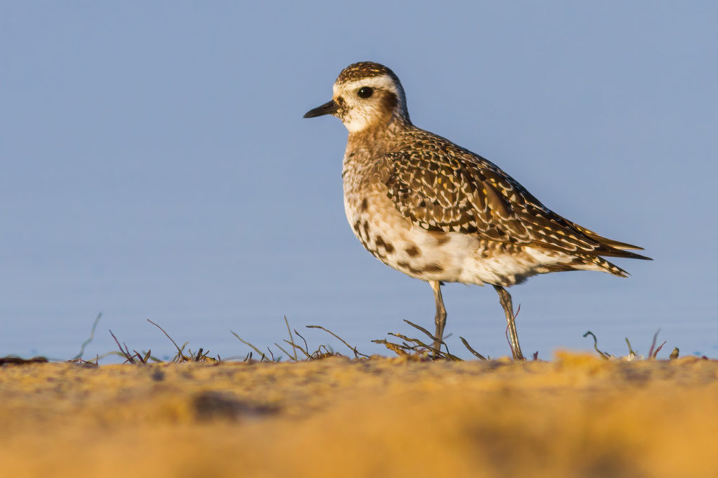 American Golden Plover in Los Lances, Cadiz. Photography by Yeray Seminario, Birding The Strait.