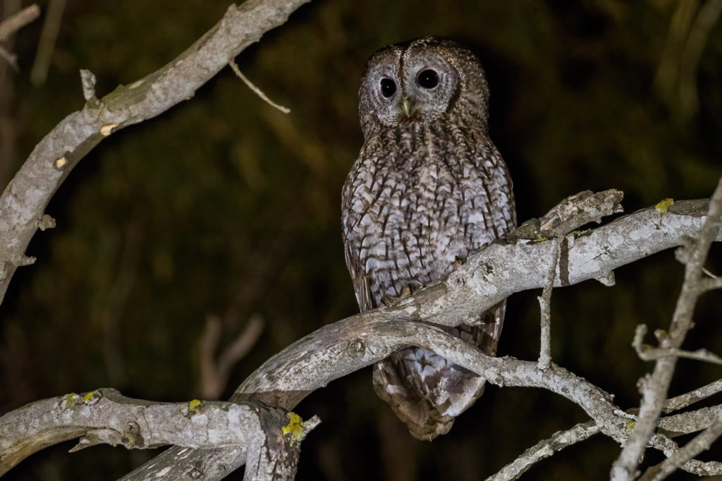 We intend to take advantage of all the hours we can on October 17 to see and hear the greatest number of species, including nocturnal birds, like this Tawny Owl in Tarifa. Photography by Yeray Seminario, Birding The Strait.