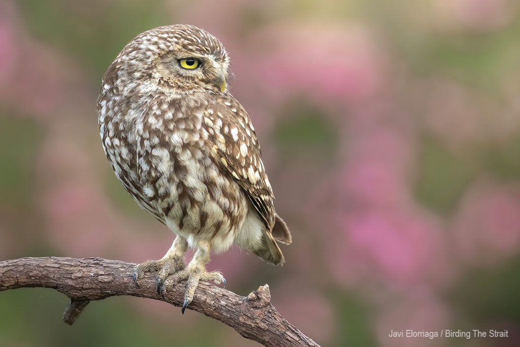 Little Owl . Javi Elorriaga / Birding The Strait