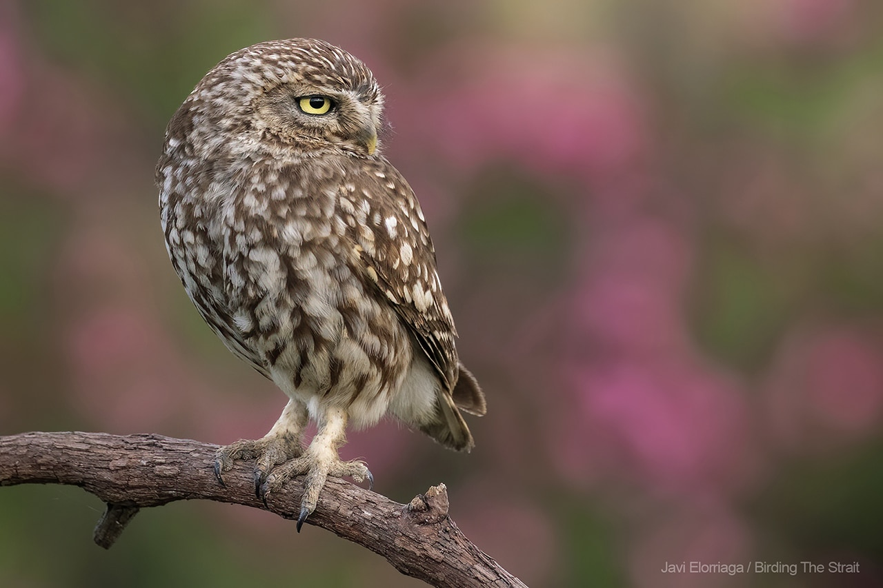 Little Owl in Andalucia. Photo by Javi Elorriaga / Birding The Strait