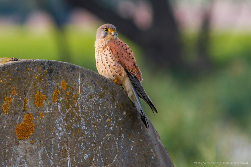 The Eurasian Kestrel is one of the species that will benefit from the instalation of the nest boxes.