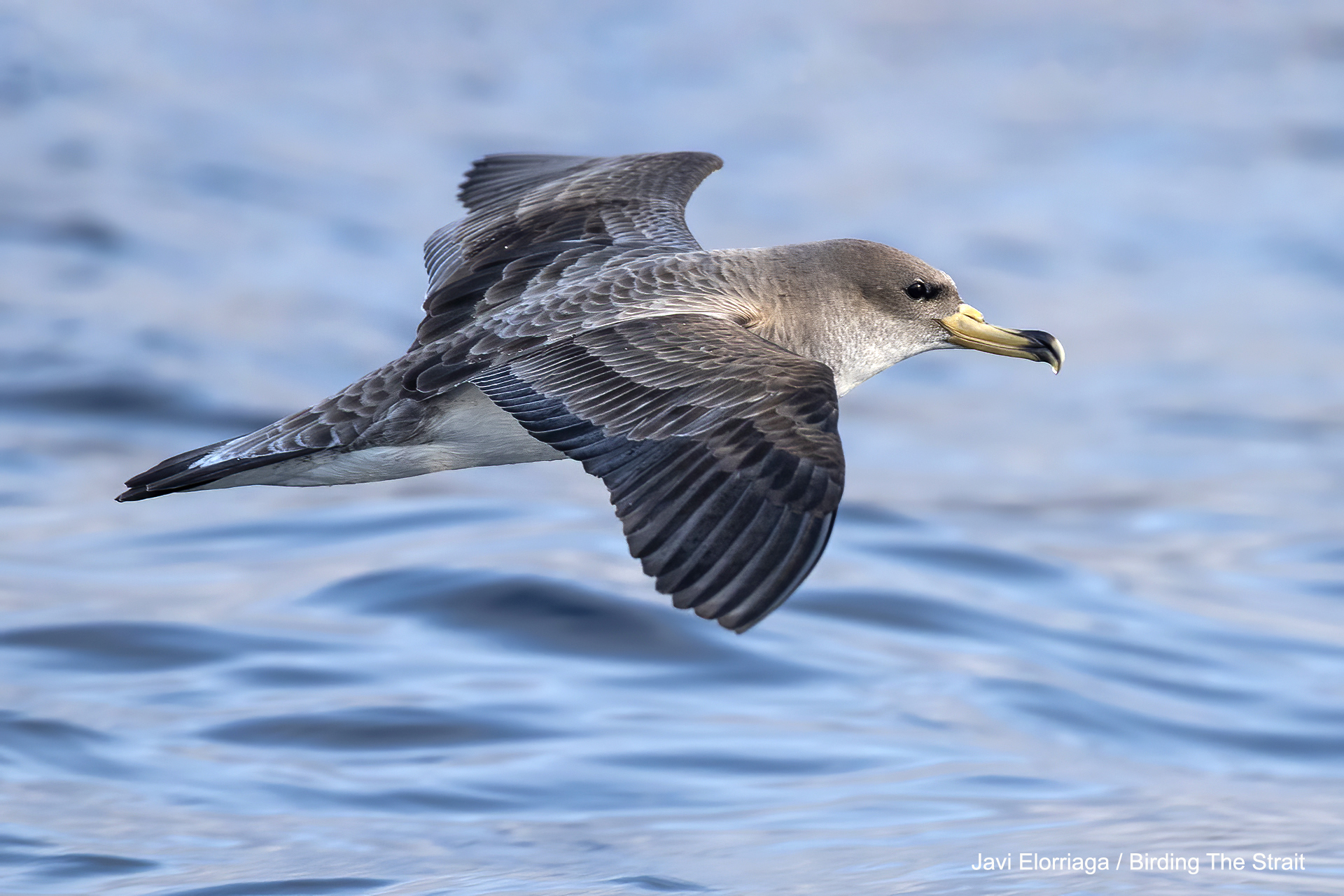 Cory's shearwater in the Strait of Gibraltar.