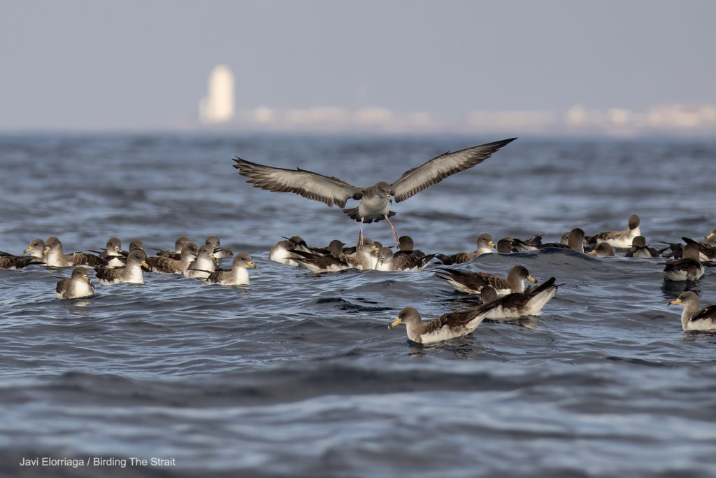 Raft of Cory's shearwaters  off Tarifa, Strait of Gibraltar.