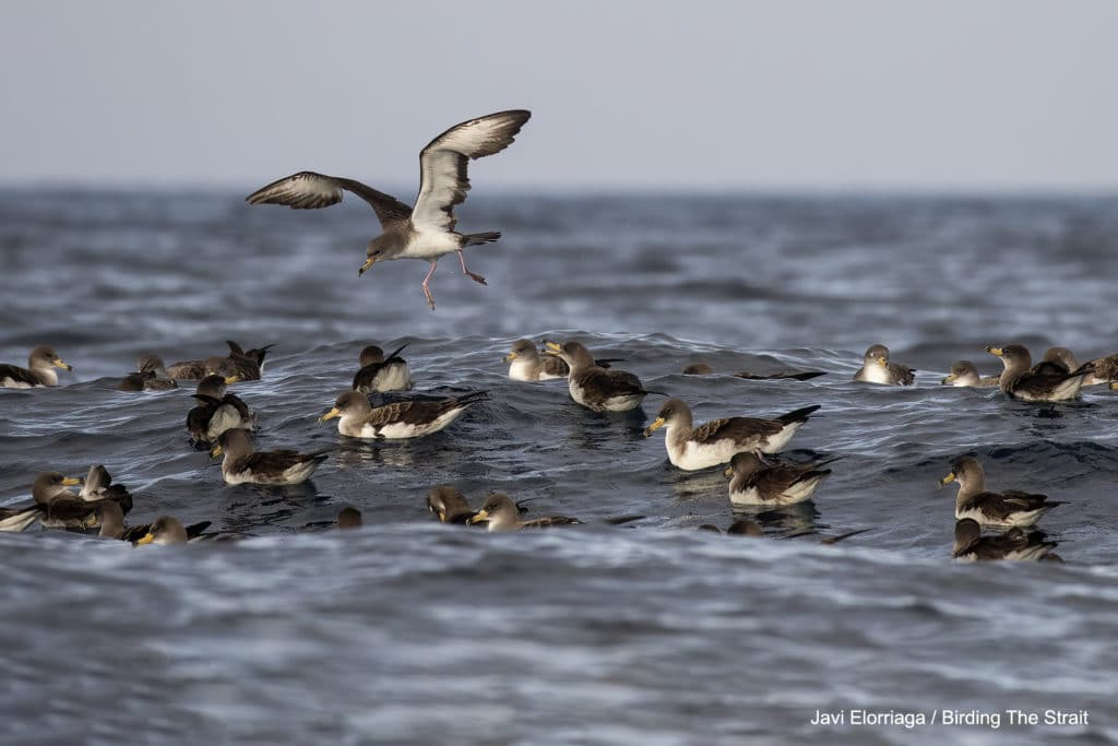 Cory's Shearwaters in the Strait of Gibraltar. Birding The Strait.