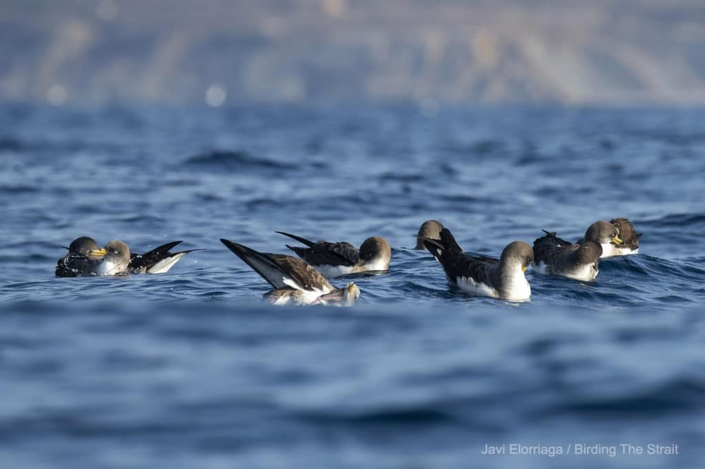 Cory's Shearwaters in the Strait of Gibraltar, 12th of June 2021.